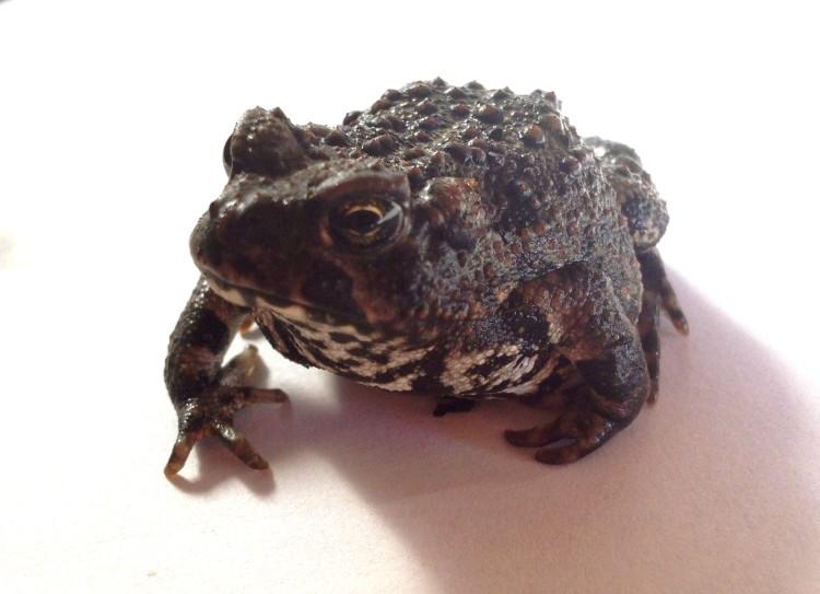 delmar toad mascot