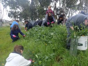 Volunteers hand weeding wild radish